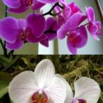 Сколько раз поливать орхидею?